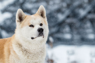 image Getting to Know Your Akita