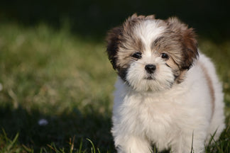 image Getting to Know Your Lhasa Apso