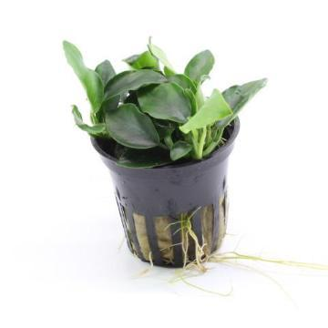 Anubias 'Petite' Tropica - Aquascaping, [Product_type] - Aquarium plants Canada, [Product_vendor] - Aquarium stone, Driftwood, [shop name] The Wet Leaf