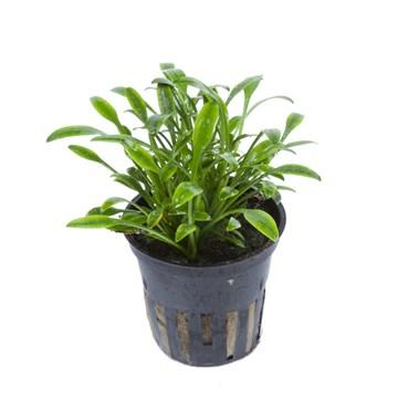 Cryptocoryne parva Tropica - Aquascaping, [Product_type] - Aquarium plants Canada, [Product_vendor] - Aquarium stone, Driftwood, [shop name] The Wet Leaf
