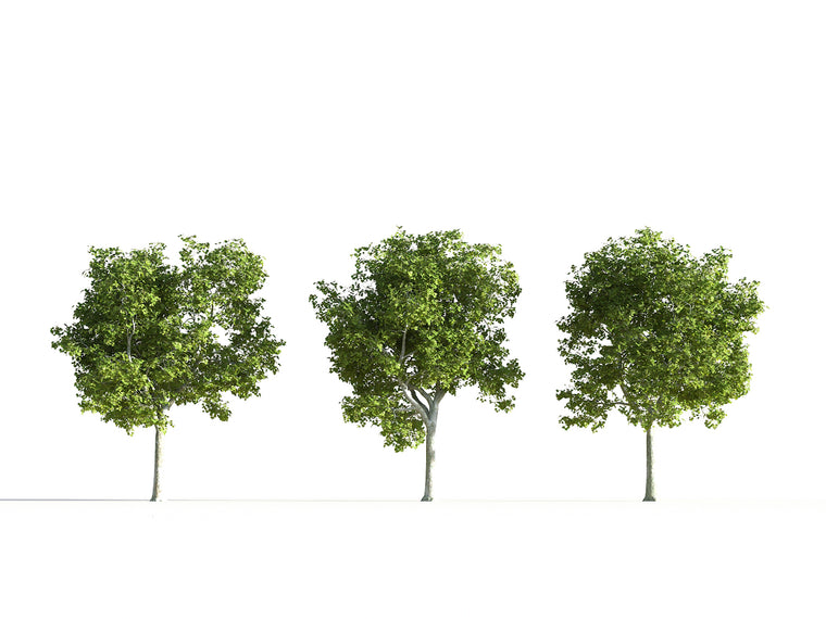 Platanus Tree Set