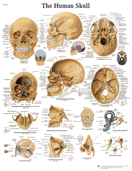 Anatomical Chart - human skull, laminated