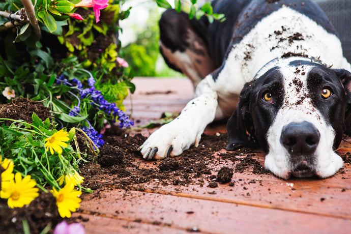 Dogs, Microbes and Allergies: Man's Best Medicine?