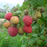 Mixed Colors Raspberry Fruit Seeds