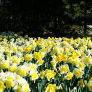 Daffodils for Landscapers