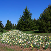 Daffodil bulbs mixed in the park, spring bloomers