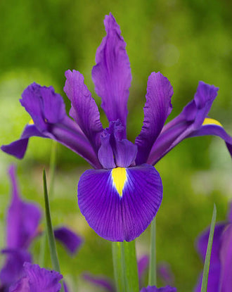 Dutch Iris Purple Sensation