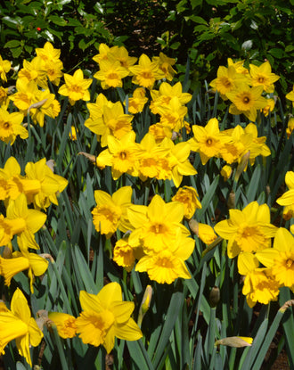 Daffodil flower bulbs Yellow - spring flowers