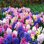 Mixed colored hyacinths