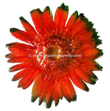 Gerbera Flower Jewelry 2-in-1 pendant/brooch (Red 2 Tone)