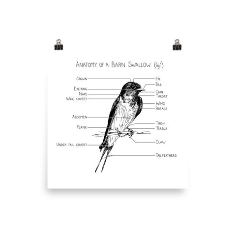 Anatomy of a Barn Swallow (fig 1)