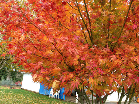 Acer palmatum 'Orange Flame' Great Fall Color Japanese Maple