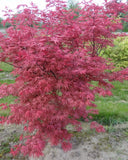 Acer palmatum 'Celebration' Japanese Maple