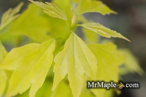 Acer buergerianum 'Bling-Bling' Golden Trident Maple