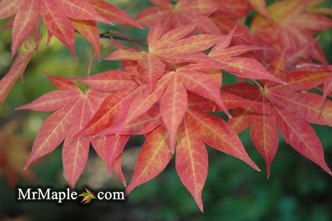 Acer palmatum 'Ogon sarasa' Golden Calico Cloth Japanese Maple
