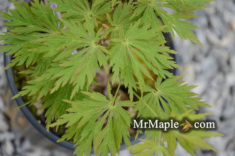 Acer shirasawanum 'Green Snowflake' Weeping Full Moon Japanese Maple