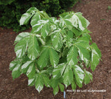 Aesculus turbinata 'Marble Chip' Variegated Japanese Horse Chestnut