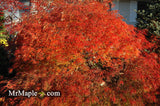 Acer palmatum 'Waterfall' Japanese Maple