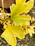 Ginkgo biloba 'Snow Cloud' Variegated Male Ginkgo Tree
