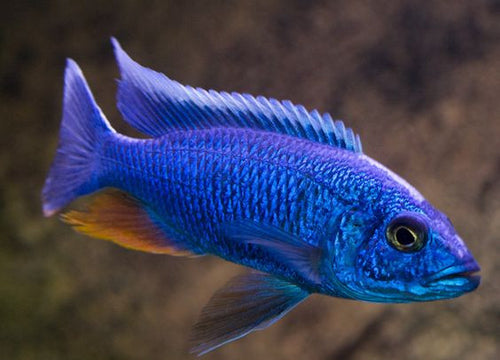 This fish is a Sciaenochromis Fryeri aka Electric Blue Ahli,  it is in stock and for sale!