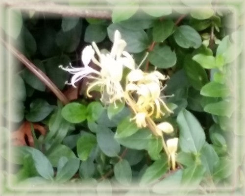 Wild Honeysuckle Flower Remedy