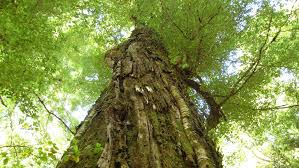 products/NZ_Beechwood_Tree.jpeg