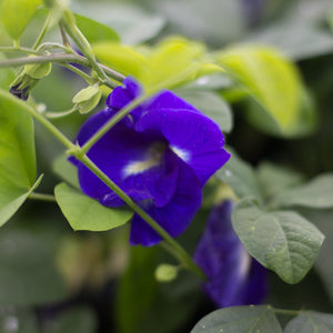 Kauai Farmacy Blue Butterfly Pea Flower growing in our Hawaii Gardens