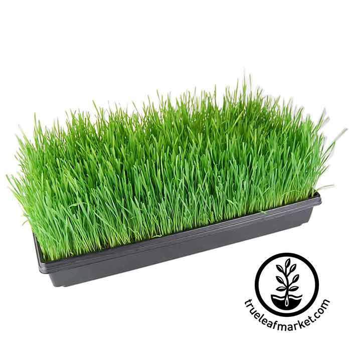 Full 1020 Greenhouse Tray of Grown Wheatgrass