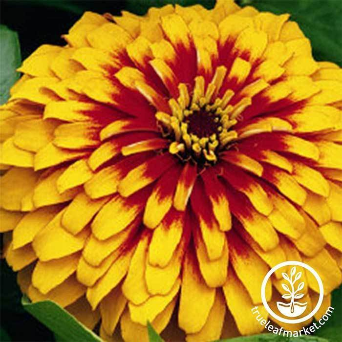 Zinnia Swizzle Series Scarlet and Yellow Flower Seeds