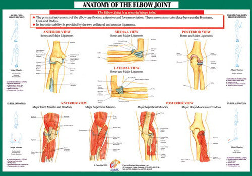Anatomy of Elbow Joint Health and Fitness Wall Chart Poster - Chartex Ltd.