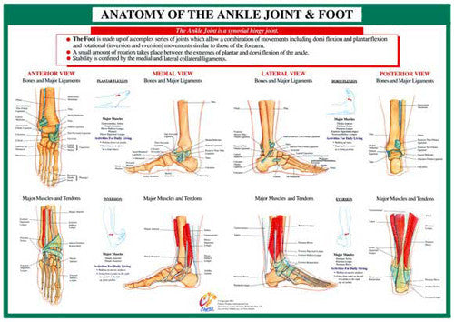 Anatomy of the Foot and Ankle Health and Fitness Wall Chart Poster - Chartex Ltd.