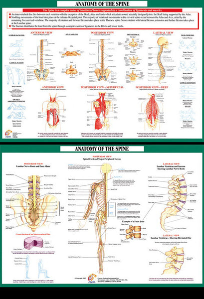 Anatomy of The Spine (Muscles and Nerves) Wall Chart 2-POSTER SET - Chartex Ltd.