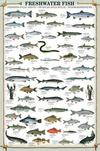 Freshwater Fish (53 Species) Wall Chart Poster - Eurographics