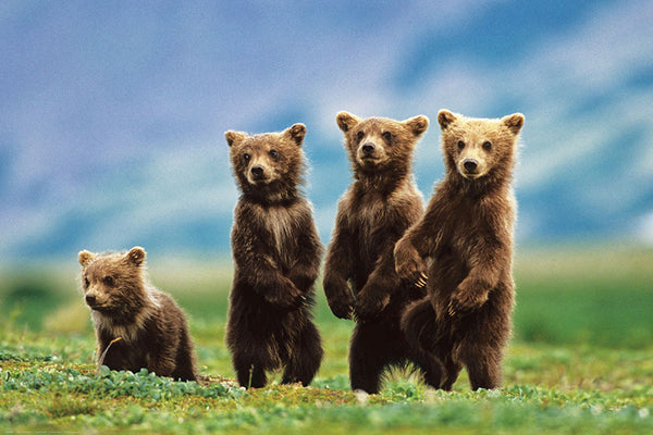 Four Brown Bear Cubs in the Wilderness Animal Beauty Poster - Eurographics