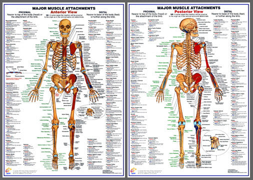 Major Muscle Attachments Anatomy Poster Combo - Chartex Ltd