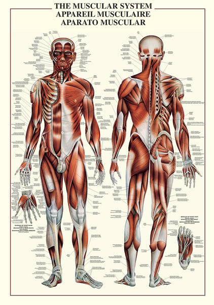 The Muscular System Human Anatomy Wall Chart Reference Poster - Ricordi Arte/Eurographics