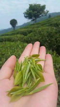 Fresh picked high elevation Qinba Wu Hao, from the selenium- rich soils of Daba Mountain, China