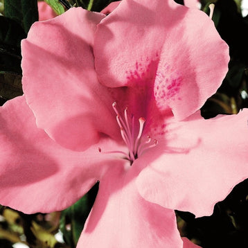 Autumn Debutante Encore Azalea (photo by Encore\u00ae Azalea)