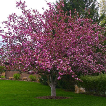 Profusion Crabapple