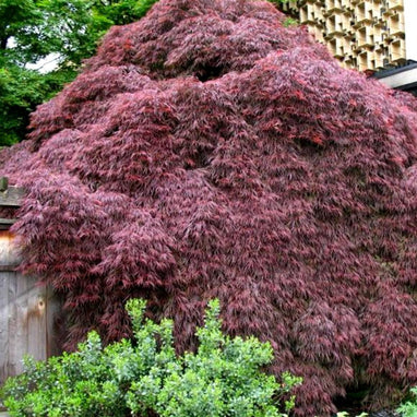 Crimson Queen Japanese Maple Tree