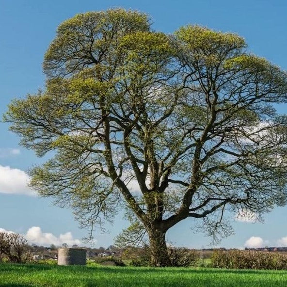 American Sycamore Tree