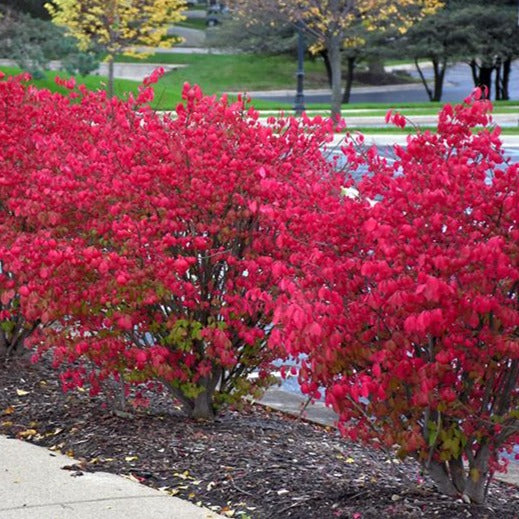 Burning Bush Shrub