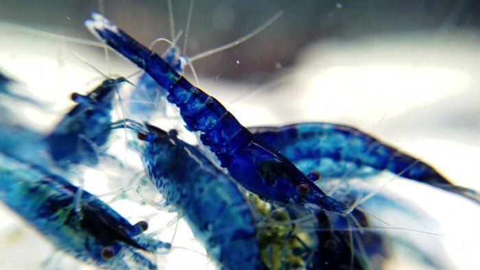 5 Fantasy Blue Dream Shrimp