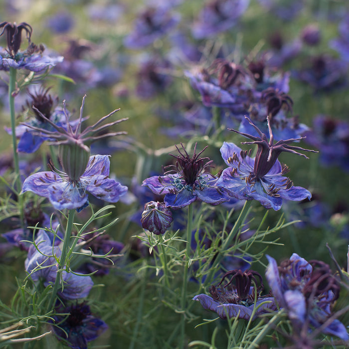 Love-in-a-Mist Starry Night Mix