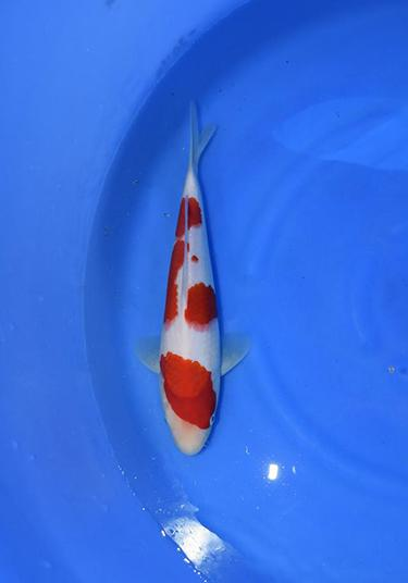 Outstanding Dainichi Kohaku 18 months 30cm Koi Fish - Offspring of Marin X