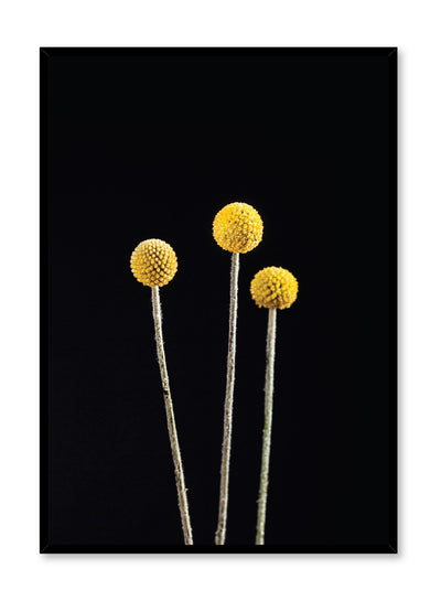 Modern minimalist photo print of Billy Buttons on black by Opposite Wall