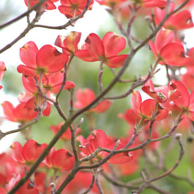Cherokee Chief® Flowering Dogwood