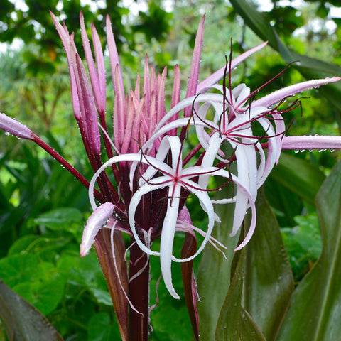 Gaint Spider Lily Or Gaint Blood Lily - Flowering Shrubs