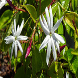 Angel wing jasmine  - Creepers & Climbers