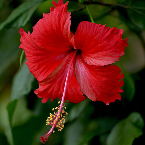 Hibiscus Red - Flowering Plants